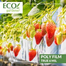 A strawberry farm using Ecogardener black and white poly film