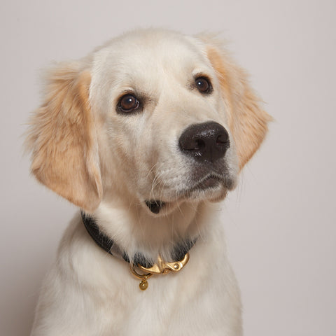 golden retriever wearing luxury collar