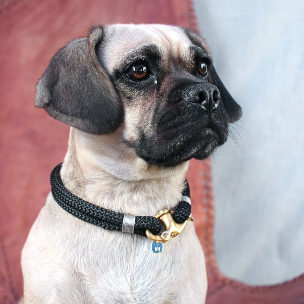 Pug sitting in leather chair. cute pug cross wearing stunning luxury dog collar with gold detail