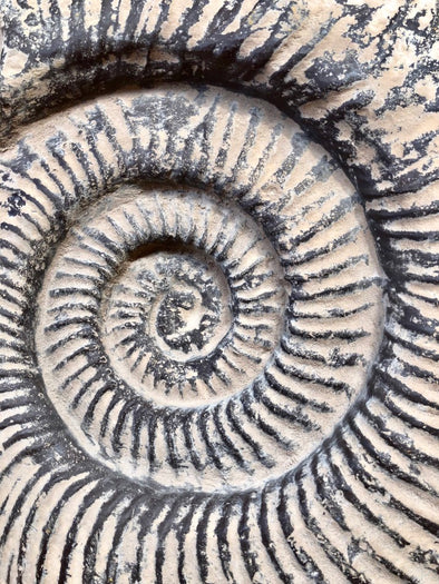 Close up fossilized ammonite shell