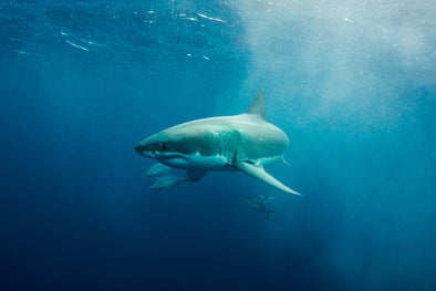Great White Shark swimming in open water