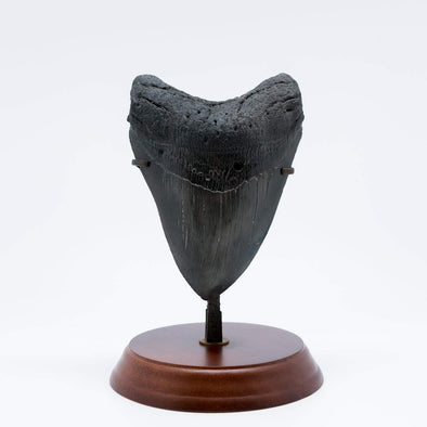 Megalodon tooth on a pedestal