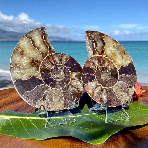 """3 7/8"""" Ammonite Fossil Split Pair on stands in front of ocean"""