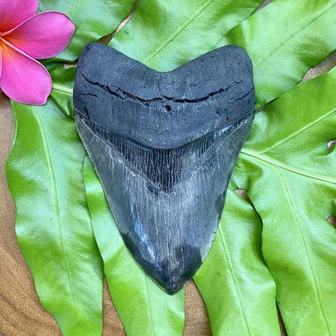 5.5 inch megalodon tooth on a tropical leaf