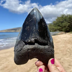 6 inch black polished megalodon tooth