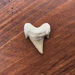 Otoudus Tooth in wooden table