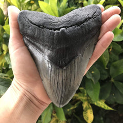 Morgan River Megalodon Tooth