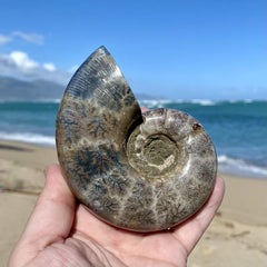 Phylloceras ammonite fossil being held in front of ocean