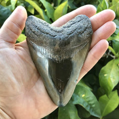 "4"" Polished Megalodon Tooth in a hand"