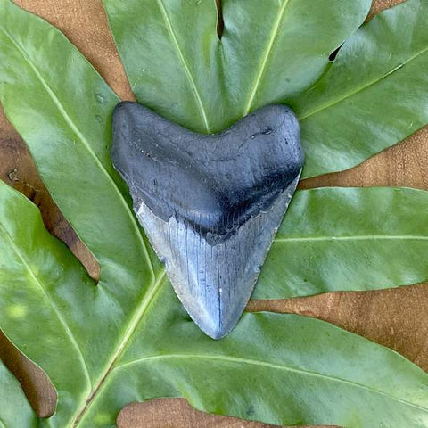 """3.5"""" Megalodon Tooth Fossil on a leaf"""