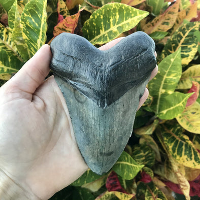 "5.25"" Megalodon Tooth"