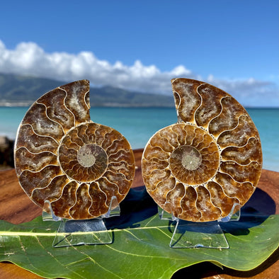 "3.5"" Ammonite Fossil Split Pair"