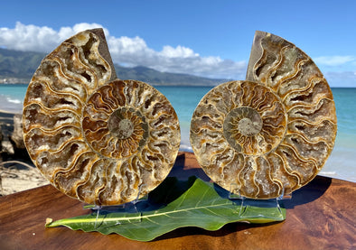 "6.5"" Ammonite Fossil Split Pair"
