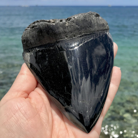 "5.5"" Polished Megalodon Tooth - MEG01"