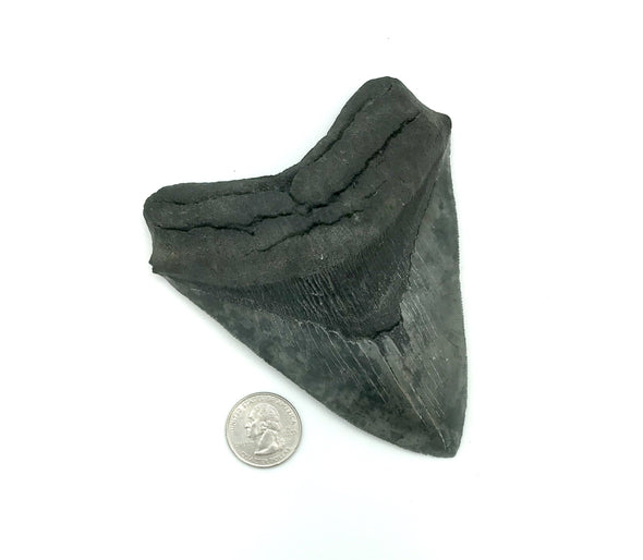 "4 3/4""+ Megalodon Tooth"