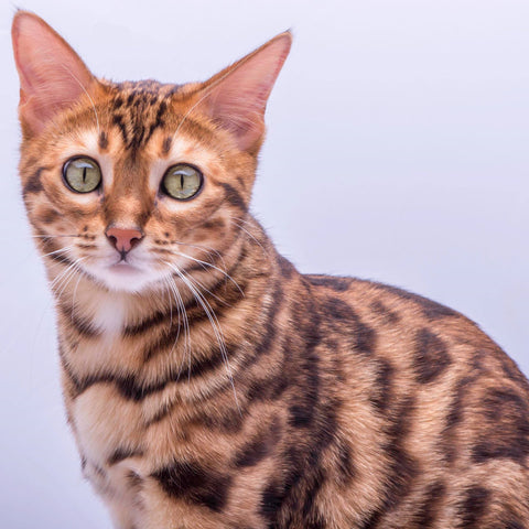 5D Diamond Painting Kit - Bengal Cat Annie (Exclusive)
