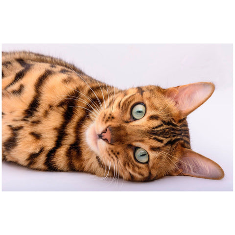 5D Diamond Painting Kit - Bengal Cat Spike (Exclusive)