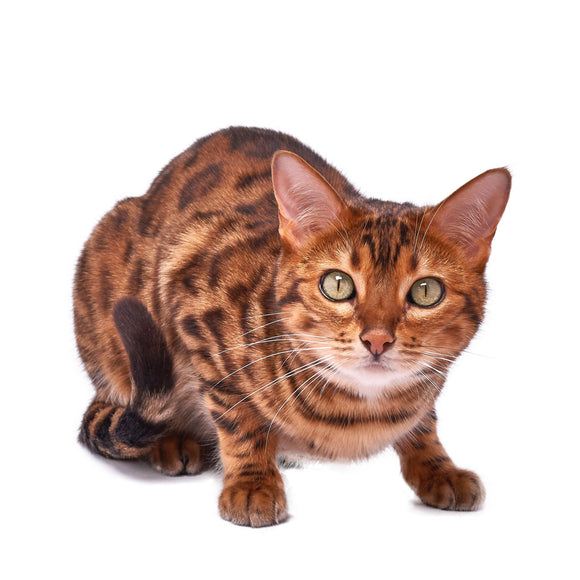 Bengal Cat Mouse Mat - Exclusive to us!