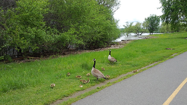 baby geese ottawa river