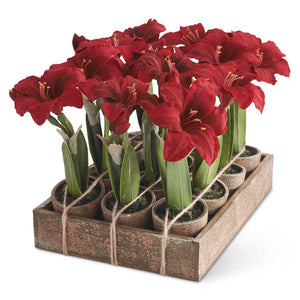 Mini Amaryllis Pots - Red or White