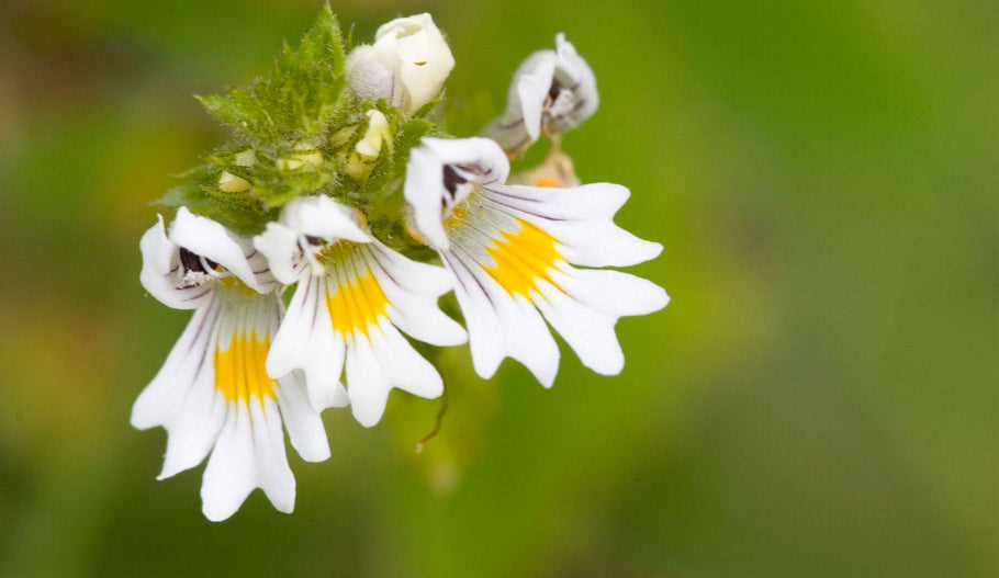 Euphrasia officinalis: New Old Friend