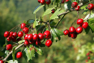 Hawthorn - A Scientific Overview