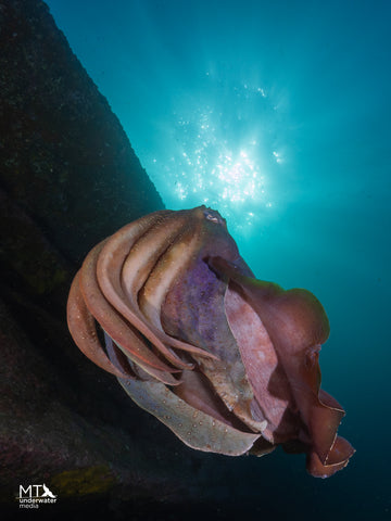 A curious Giant Cuttlefish