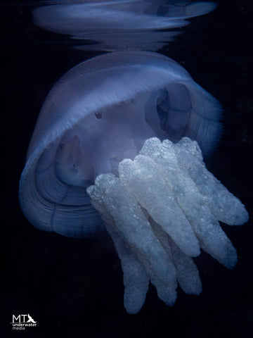 Blueblubber Jellyfish