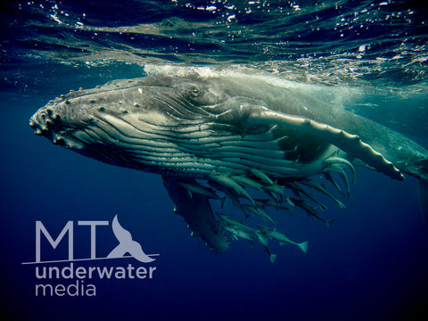 The Humpback Whale Calf - Canvas