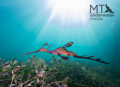 Seadragon Sunset - Canvas