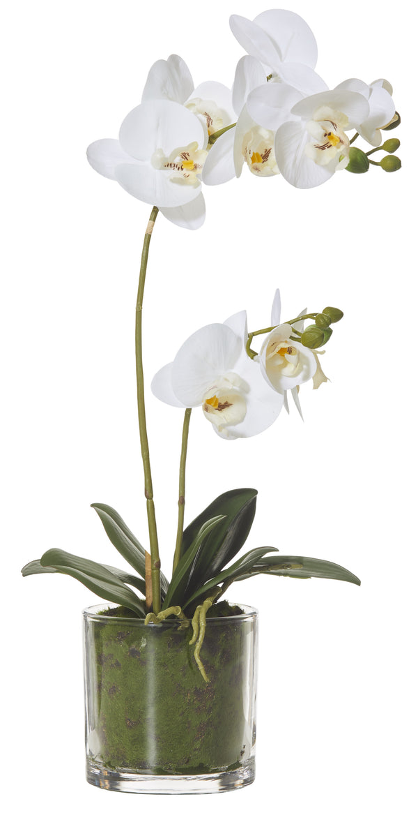 Shop Butterfly Orchid in Glass Pot 50cm at Rose St Trading Co