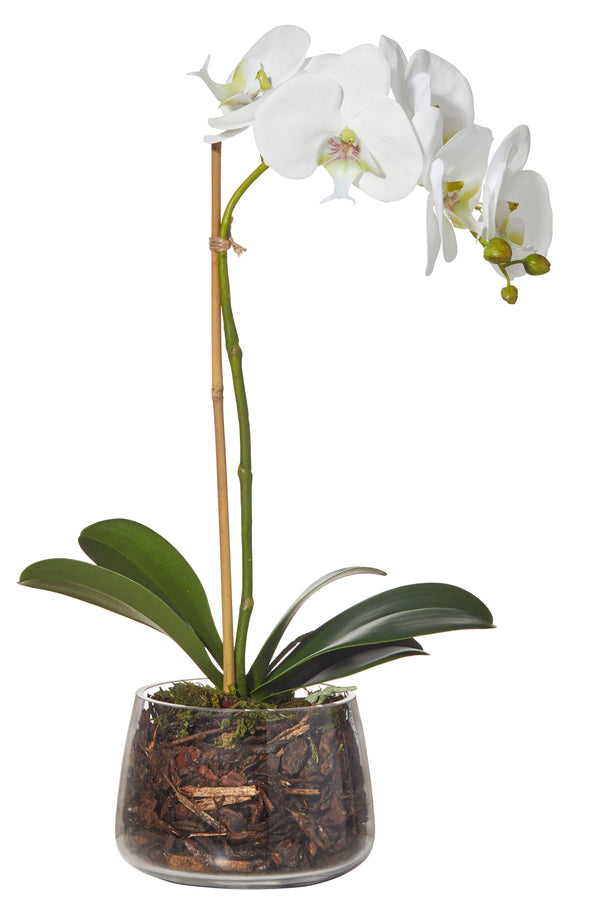 Shop Phalaenopsis Classic Bowl 47cm at Rose St Trading Co