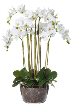 Shop Phalaenopsis Classic Bowl 85cm at Rose St Trading Co