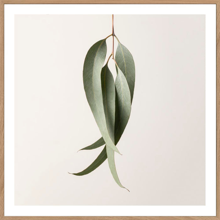Buy EUCALYPTUS STUDY #1 -  LIMITED EDITION ART PRINT UNFRAMED - The Interiors Assembly