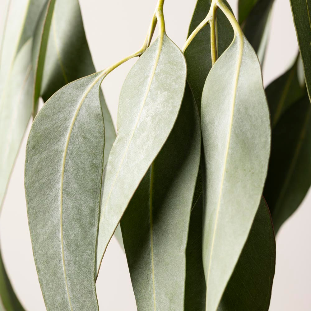 Buy EUCALYPTUS STUDY #2 -  LIMITED EDITION ART PRINT UNFRAMED - The Interiors Assembly