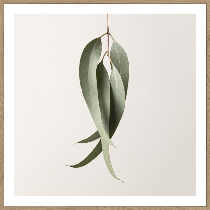 EUCALYPTUS STUDY #1 -  LIMITED EDITION ART PRINT UNFRAMED