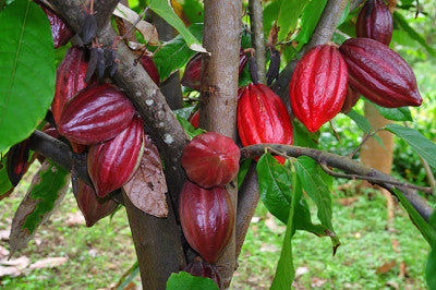 Cacao Beans – The Natural Remedy For High Blood Pressure - by The Superfood Blog