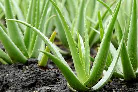 Aloe vera and 7 sensational health benefits - by The Superfood Blog