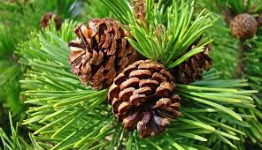 5 Reasons Pine Pollen Will Improve Your Health! - By Elemental Wizdom