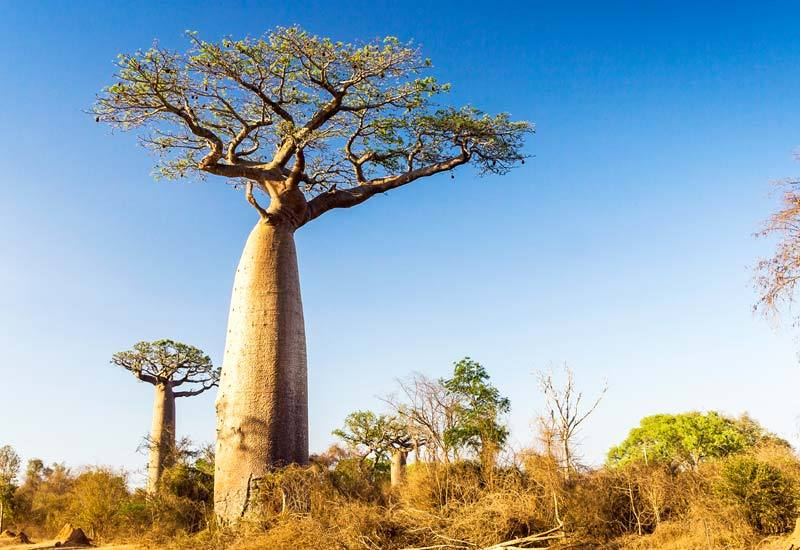 Baobab Tree – The Tree of Life
