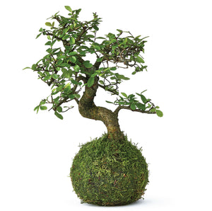 Beginners bonsai tree