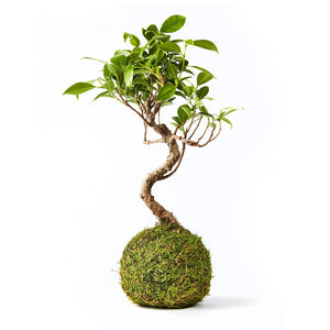 Chinese Elm Bonsai Tree in red plant pot