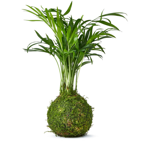 Kokedama Palm Tree