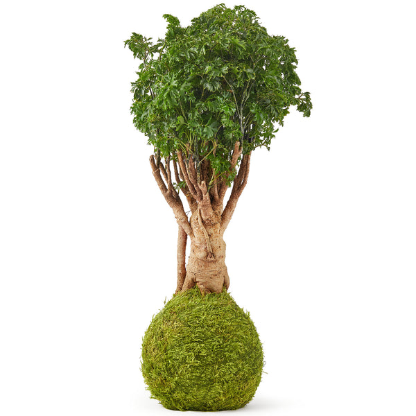 Parsley bonsai tree kokedama