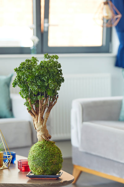 Parsely bonsai tree  Kokedama