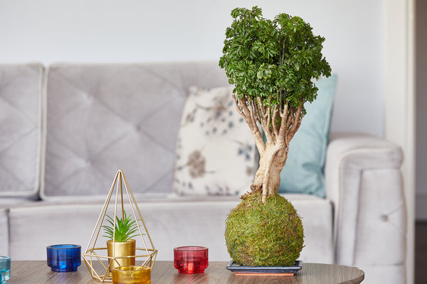 Parsley bonsai tree kokedama in living room