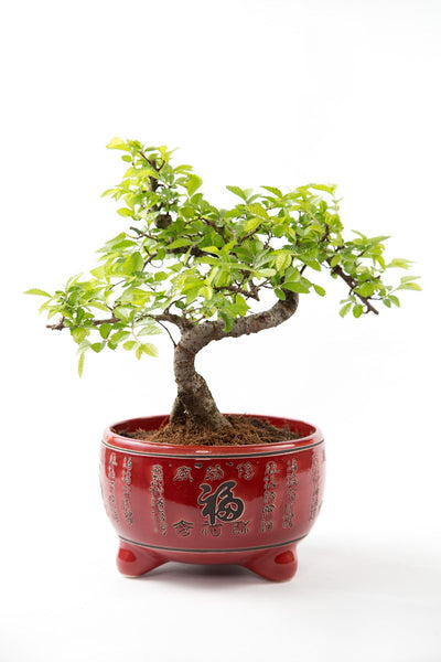 ChineseElm Beginners Bonsai in Red Japanese Pot