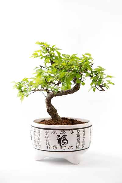 Chinese Elm Bonsai - Shaped in white pot
