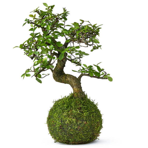 Kokedama Beginners Bonsai - Shaped Chinese Elm