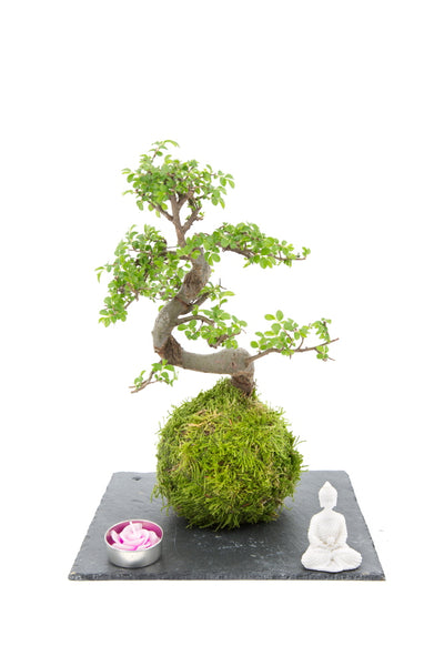 Kokedama Chinese Elm Zen garden on slate tray